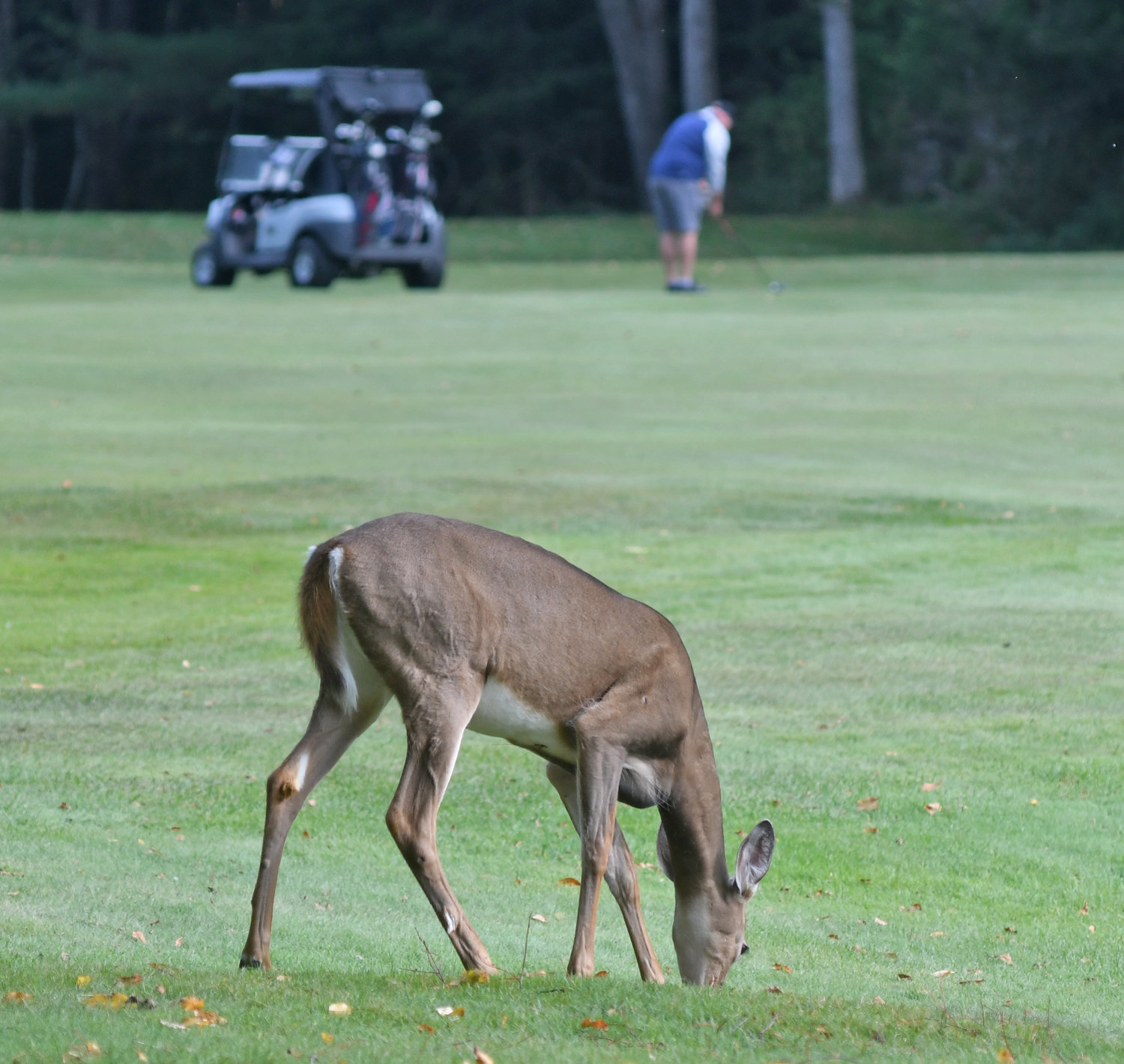 SNACK TIME — A deer grabs a quick snack while a golfer addresses the ball at Thendara Golf Club on Thursday afternoon.