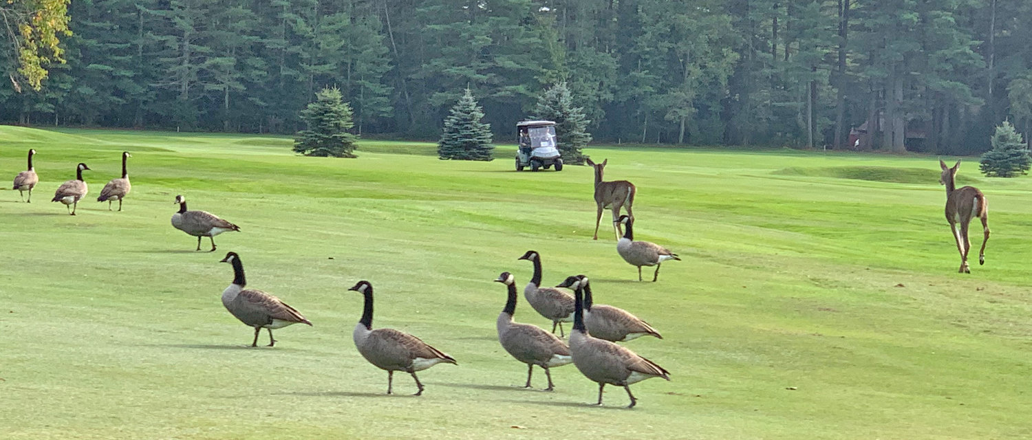 ON THE FAIRWAY — A flock of geese, a pair of deer and a couple of golfers on the fairway at Thendara Golf Club on Thursday afternoon.