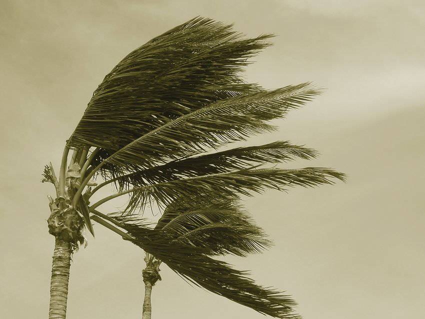 Hurricane palms 2 Sepia