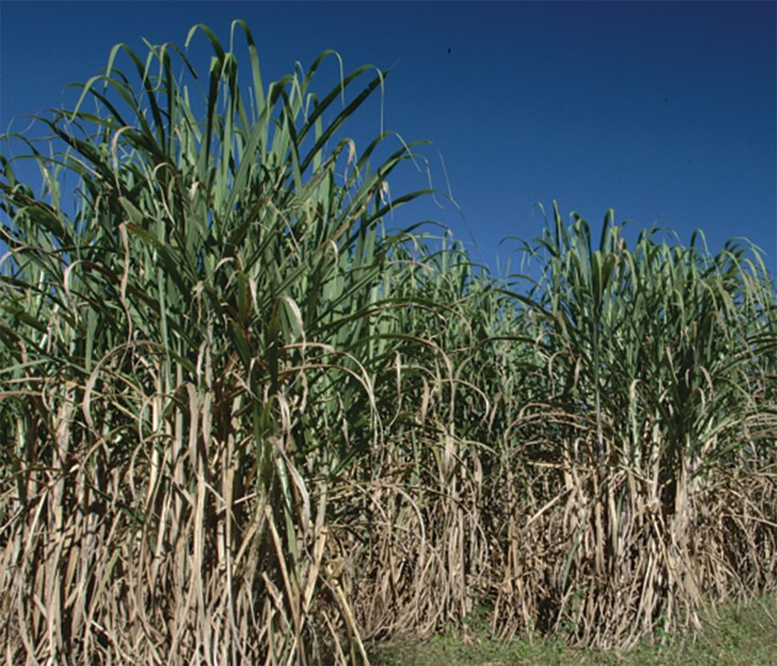 Sugarcane has been grown in Florida since the late 1760s. The 'Glades' area of South Florida recently marked the 90th annual sugar cane harvest for the farms south of Lake Okeechobee.