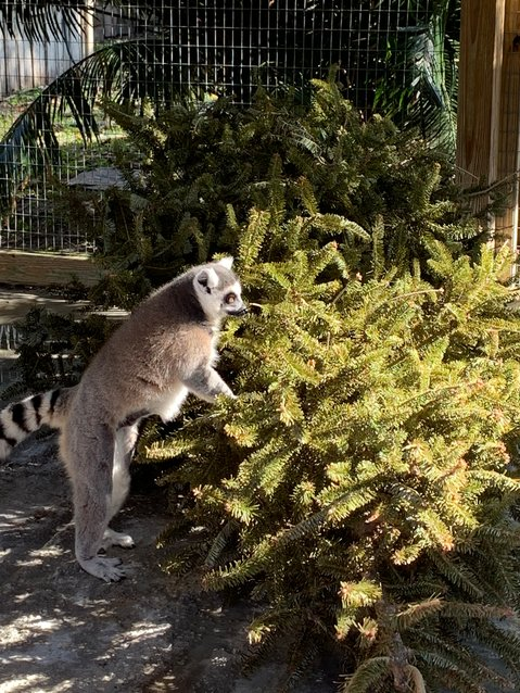 OKEECHOBEE — The animals at Arnold's Wildlife Center enjoy donations of Christmas trees. Some eat the trees. Some chew on the bark and lick the sap. Some just happily shred a tree. Natural wreaths are also welcome. Please remove any ornaments, ribbons and other decorations.