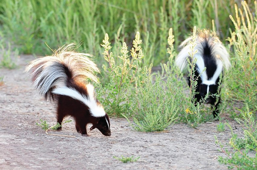 The striped skunk usually has two broad, white stripes that run the length of the body into the tail, but its coloration can vary. They may appear mostly black or mostly white.