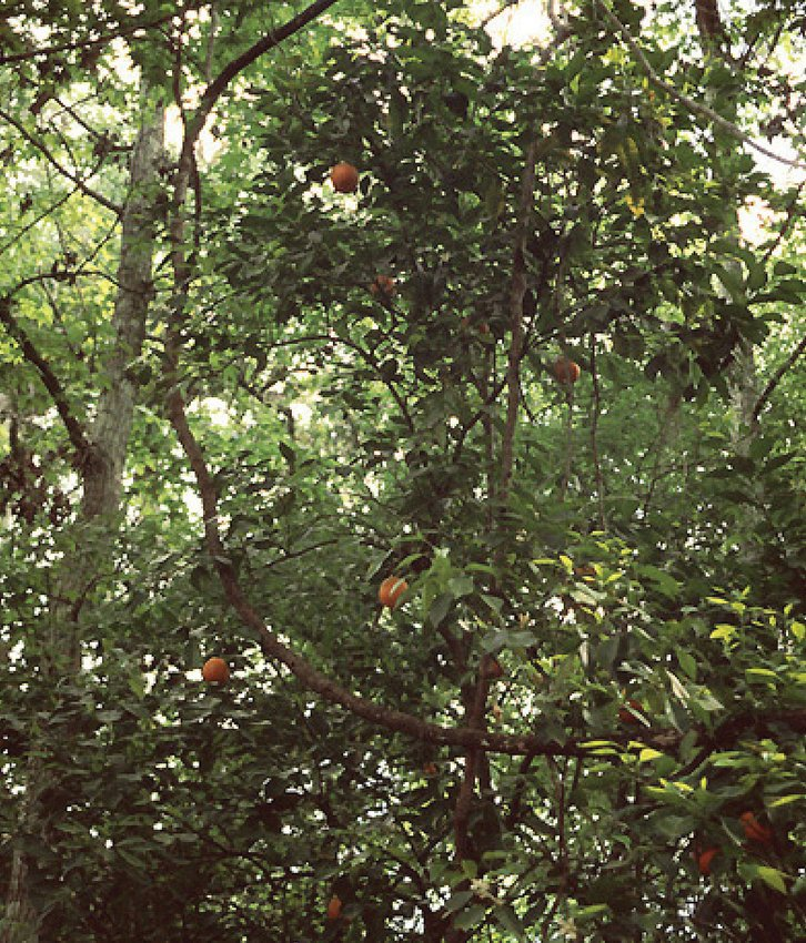 Sour oranges (a feral citris hybrid) can occasionally be found growing in hammocks according to the University of Florida Institute of Food and Agricultural Services. The tree is native to southeast Asia but escaped cultivation in Florida.