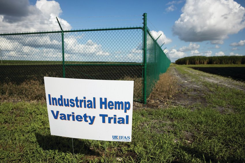 A hemp research trial at the UF/IFAS Everglades Research and Education Center in Belle Glade.