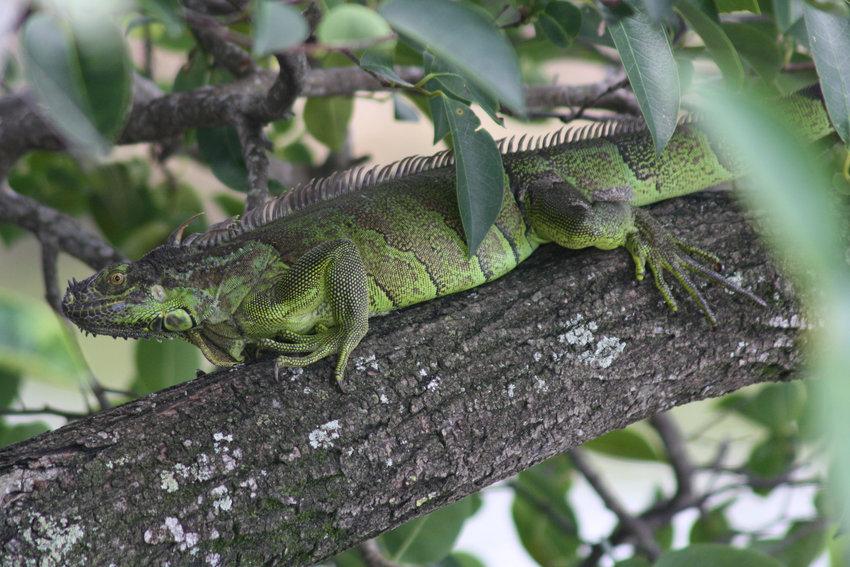 Pictured is a green iguana.