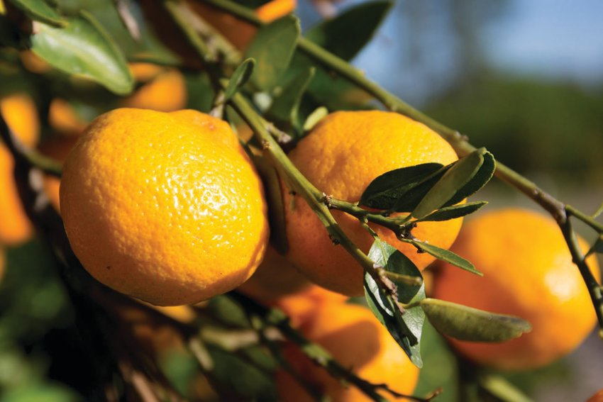 Photo is a generic image of Florida citrus.