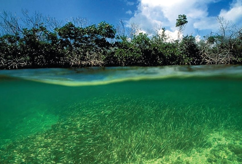 Mangroves and seagrass in Biscayne Bay.