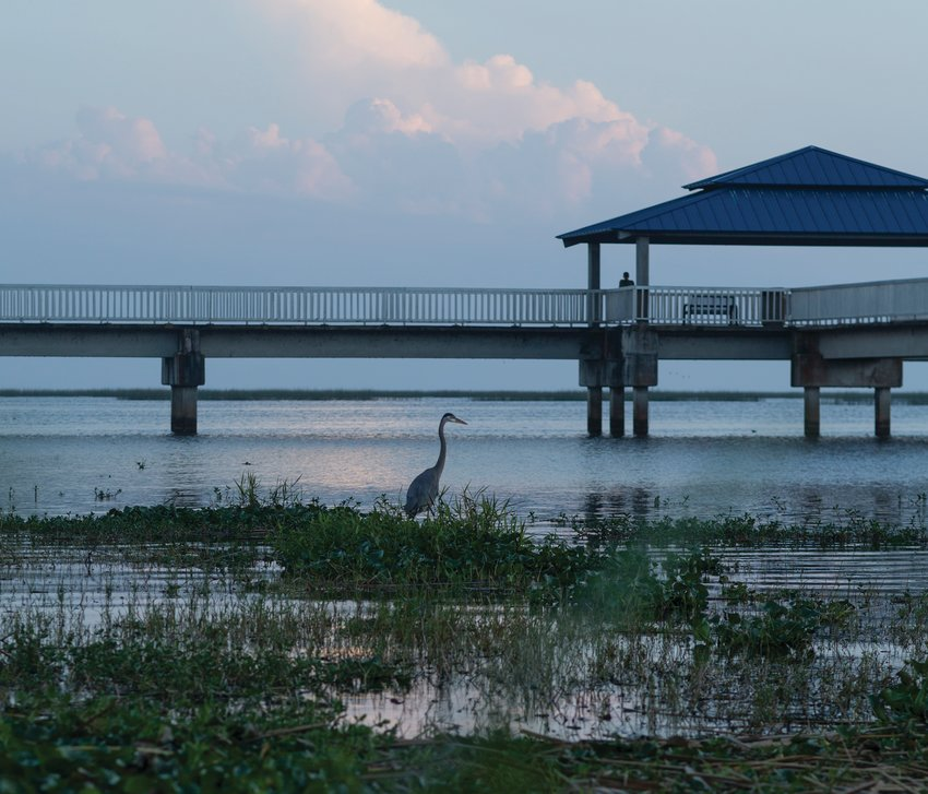 A Blue Heron wades in Lake Okeechobee near the pier at the Cliff Betts Jr., Lakeside Recreation Area.