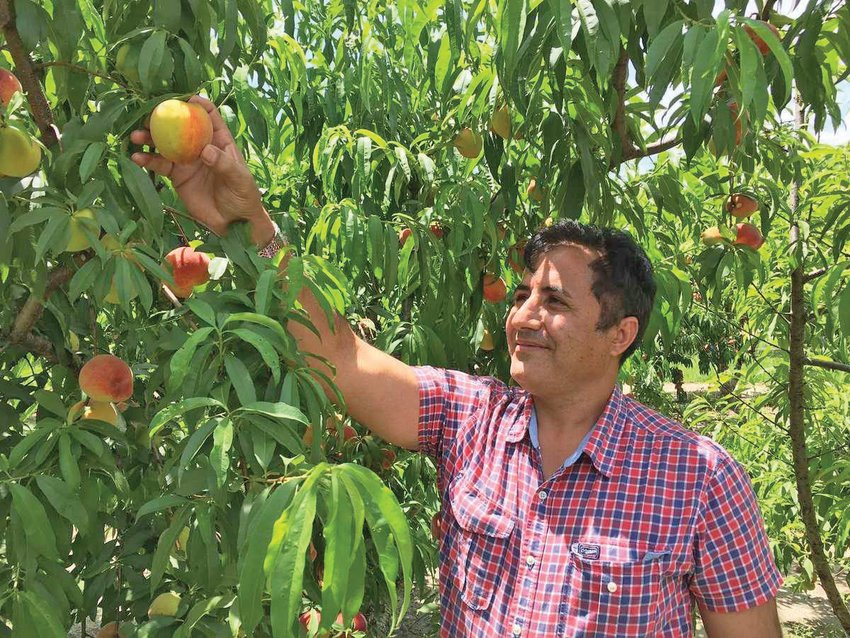 Dr. Ali Sarkhosh, a UF/IFAS assistant professor of horticultural scienceds, looking at peaches in an orchard.