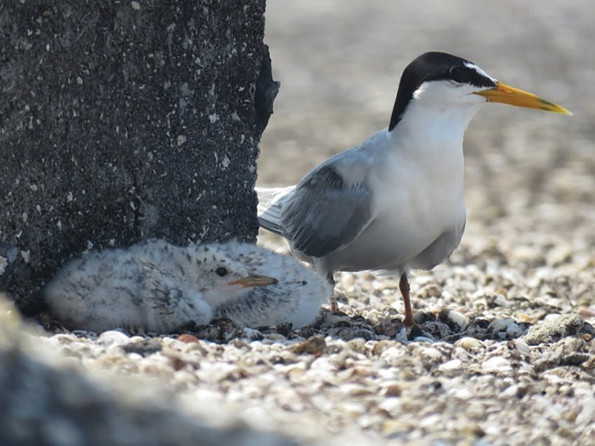 Most shorebirds and seabirds that nest on rooftops are State-threatened species.
