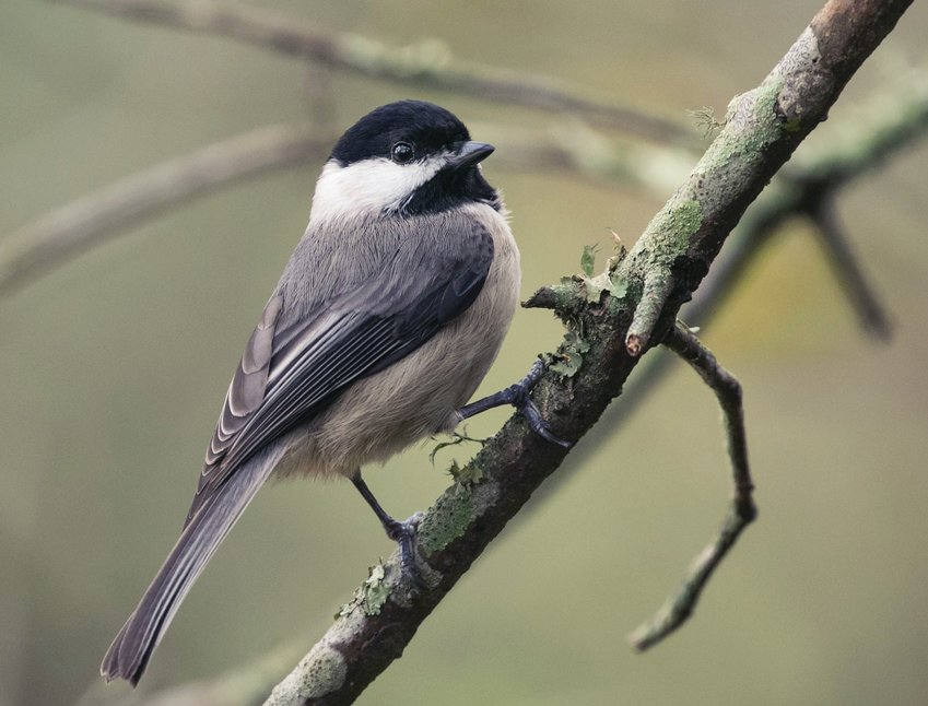 A Carolina chickadee.