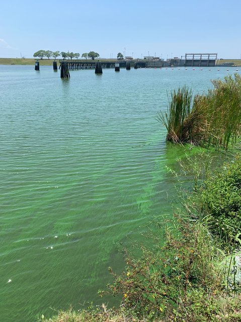 An algal bloom was  visible in the St. Lucie Canal on May 5.