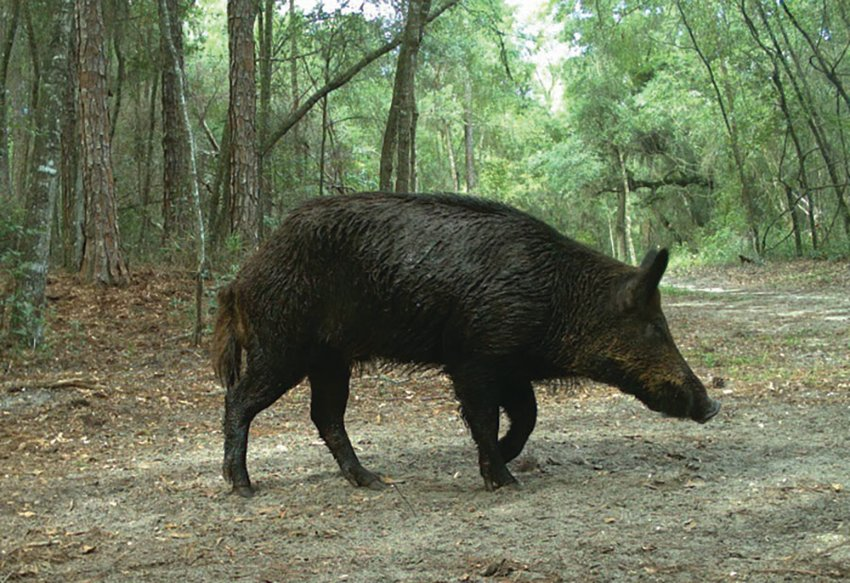 The FWC offers spring/summer wild hog hunting at 26 wildlife management areas across the state.