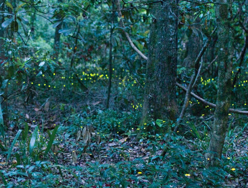 Dr. Marc Branham collecting fireflies in Gainesville during the spring 2015 firefly season.