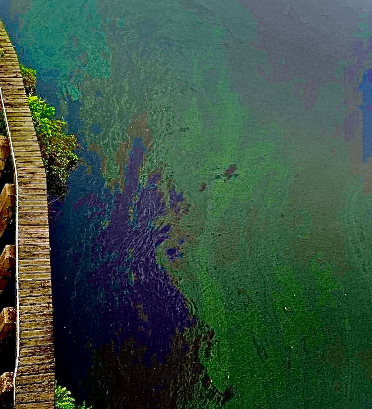 Harmful Algal Blooms, as seen at the LaBelle Bridge, continue to pose health threats.