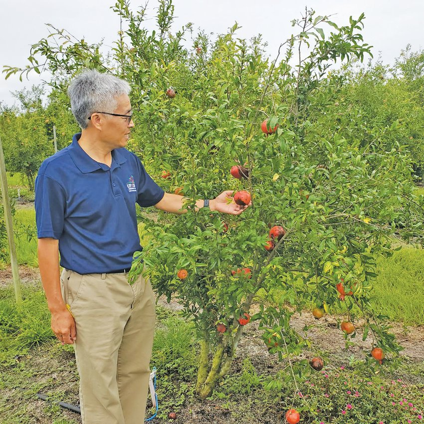 Dr. Zhanao Deng showing a pomegranate still on a tree on his research farm at the Gulf Coast Research and Education Center.