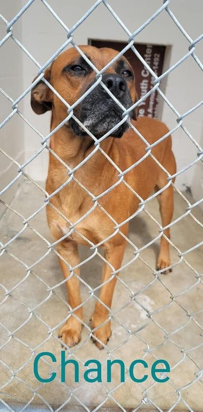Chance waits patiently at Clewiston Animal Control, one of many dogs who hopes to find his forever family soon.