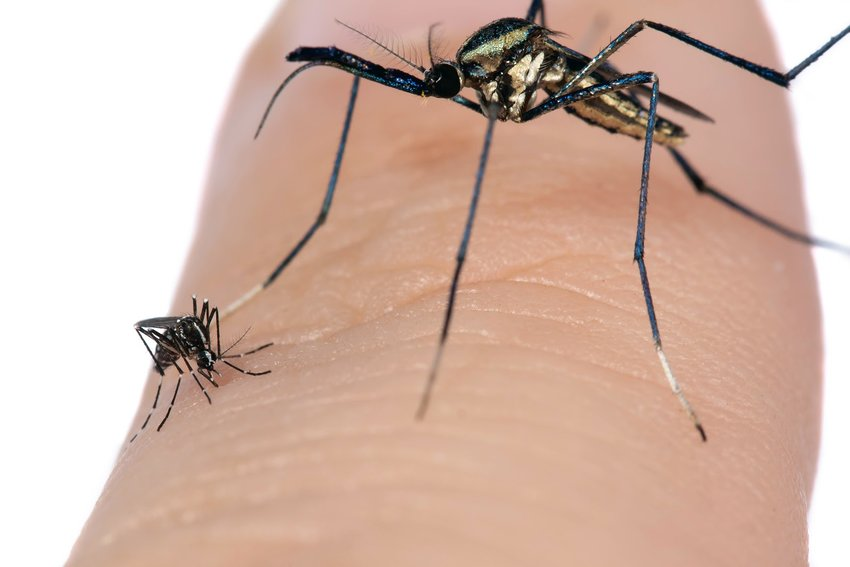 This photo shows a close-up image of an elephant mosquito and an Asian tiger mosquito on a finger.