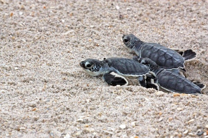 Sea turtles nest on Florida beaches March 1 and October 31. Sea turtles are protected so when the eggs begin to hatch you should allow hatchlings to crawl toward the ocean on their own.