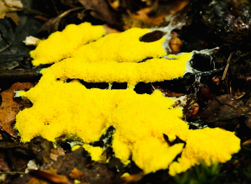 Dog Vomit Fungus, actually a slime mold, pops up in yards around LaBelle, after recent heavy rains.