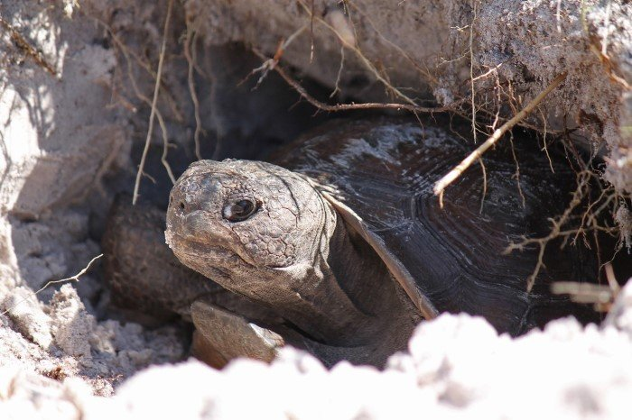 Gopher tortoises are long-lived reptiles that occupy upland habitat throughout Florida including forests, pastures, and yards. They dig deep burrows for shelter and forage on low-growing plants.