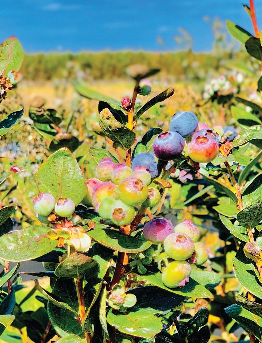 Thousands of blueberries are ripening, as the U-pick section of Blueberry Bunch Farm gets ready to reopen.