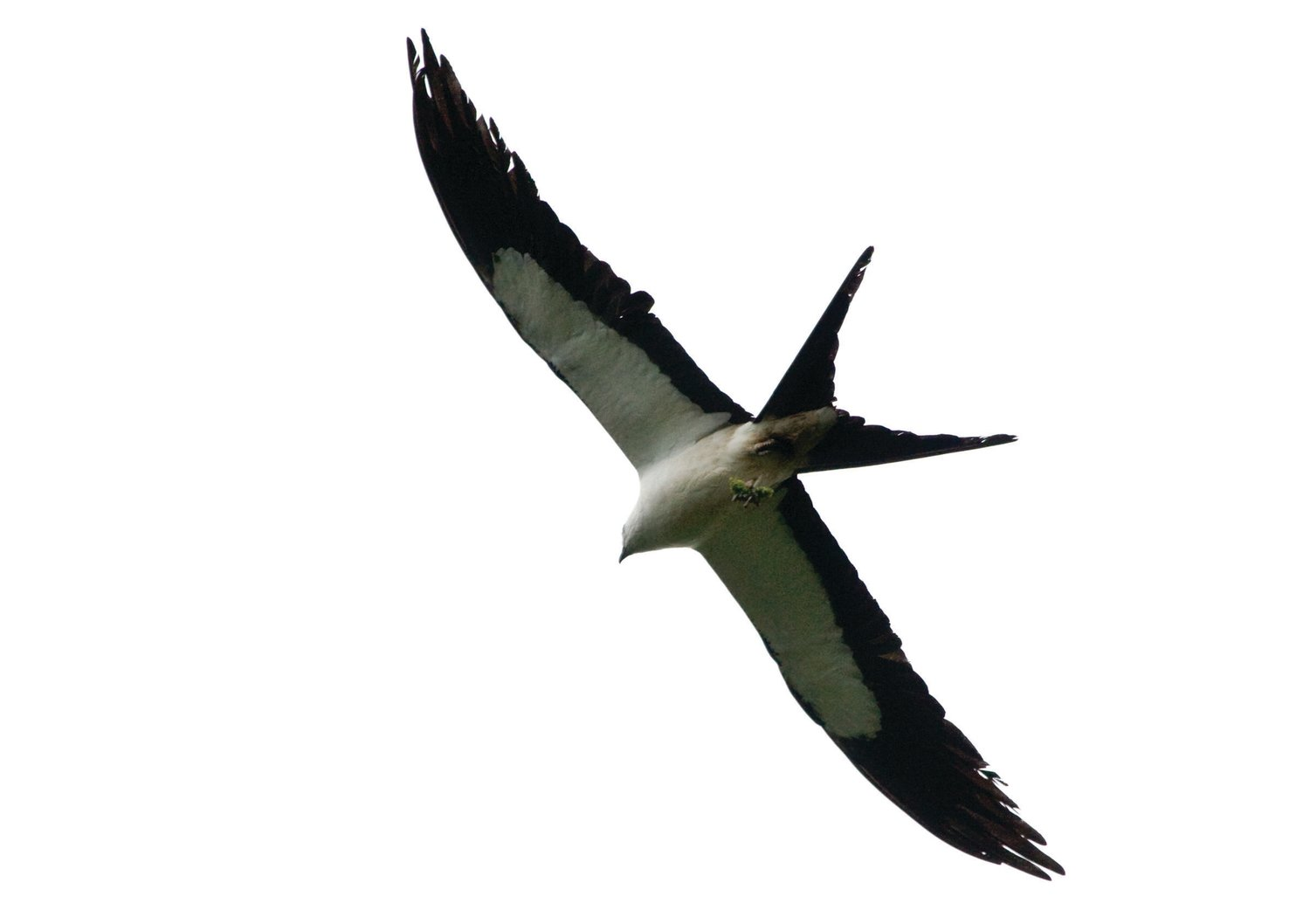 In summer, the nearby wetlands host the largest roost of swallow-tailed kites in Florida — up to 3,000 birds and more than half the North American population — as they prepare for an arduous 5,000-mile journey to southern Brazil and eastern Paraguay in August.