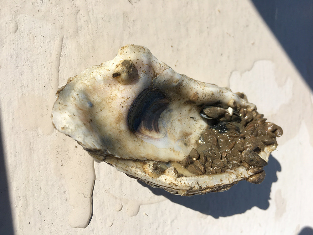During a dive on April 23, the Severn River Association found good news – the oysters planted last summer were surviving.
