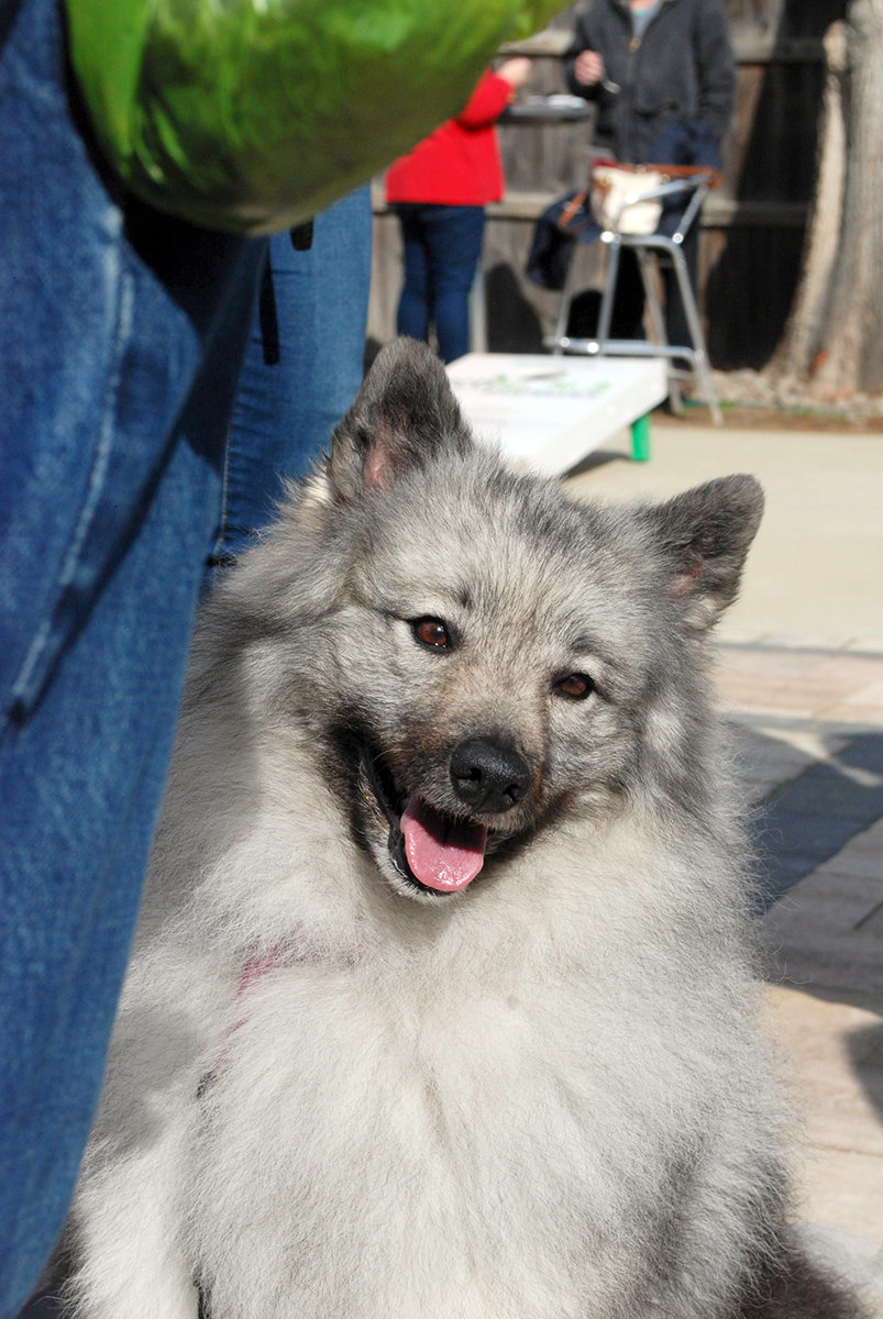 Margo, a keeshond, has lived in Australia, Hawaii, and now Maryland.