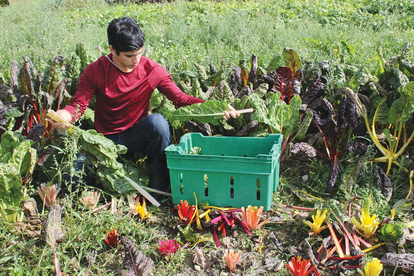 Jorge Ferrabone harvests leafy greens back in September, just as the harvest season was getting started. Now that the weather is turning colder the farm will start to prepare for the spring planting season.