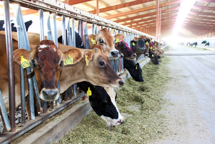 Some of Saddle Mountain Dairy's 4,500 milking cows feed in their barn. Not visible behind them, other members of the herd were walking and resting under large misters in the open-air, shaded structure. The cows are milked twice day in a milking barn, then walked back to their barns to eat and rest.