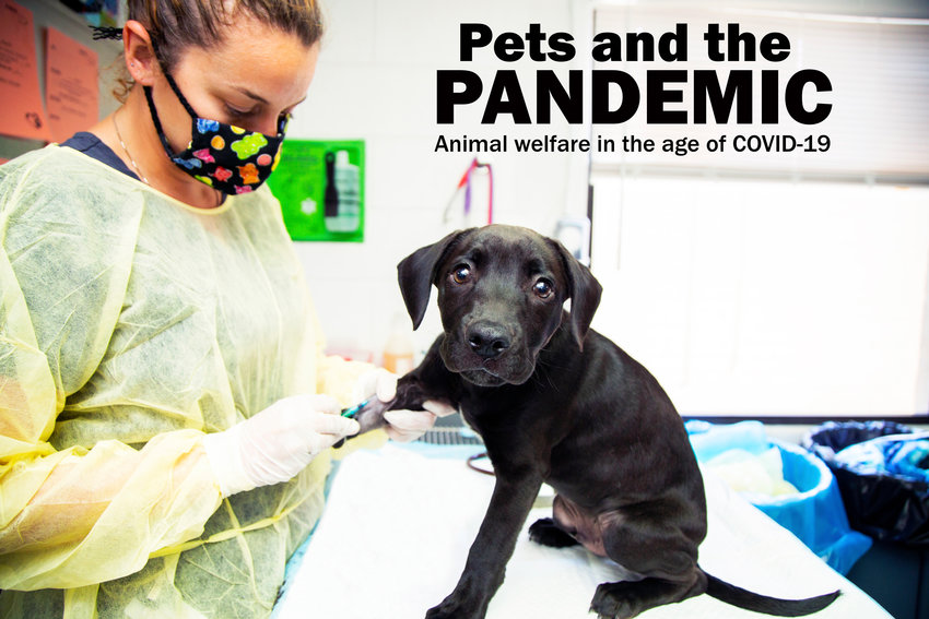 Arizona Humane Society Veterinary Technician and Intensive Care Supervisor Laura Reilly draws blood from a puppy in the organization's Parvo Puppy ICU.