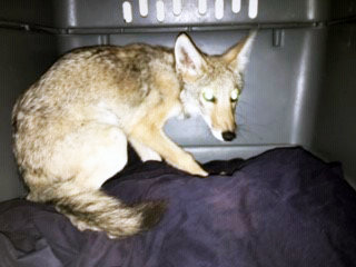 Splints have been removed from the back legs of the coyote pup rescued June 15 by Goodyear Police Officer Hawkins Mann, and he could soon be released back into the wild.