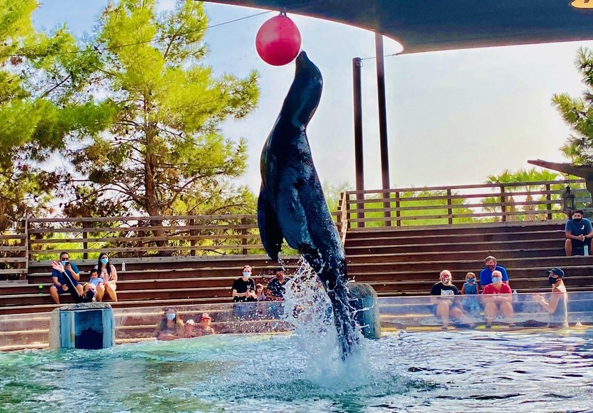 Crockett makes a splash during the Sea Lion Show at Wildlife World Zoo, Aquarium & Safari Park.