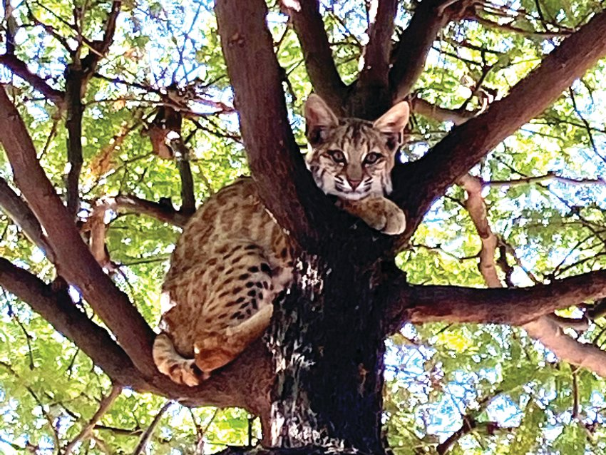 A bobcat climbed the tree on Horizon Drive in Sun City West. Local officials are advising residents that the cats don't pose much threat to humans.