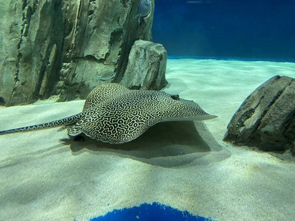 The beloved OdySea Aquarium honeycomb whiptail stingray, Bee, is recovering from recent surgery and being monitored by staff.