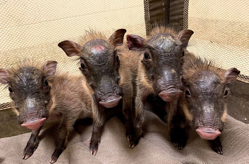 Baby warthogs are among the spring arrivals at Wildlife World Zoo, Aquarium & Safari Park in Litchfield Park.