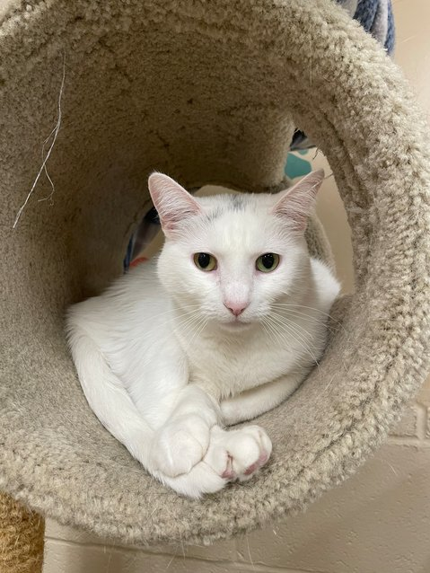 Bitsy is a female spayed domestic short hair mix cat up for adoption that is 8 years 5 months old.
