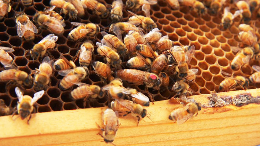 The queen bee, recognized by her larger size and marked with a red dot so scientists can keep track of her more easily, can live for years, while the worker bee's lifespan is measured in weeks.