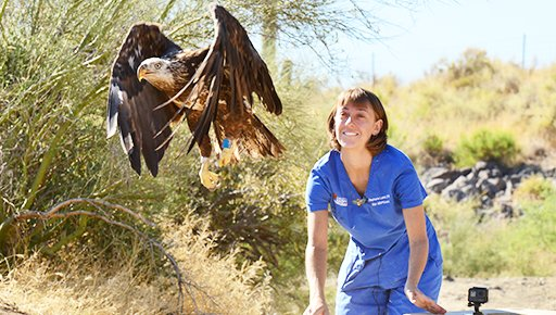 In this file photo taken June 24, 2019 and provided by the Arizona Game and Fish Dept., Stephanie Lamb, a volunteer veterinarian with Liberty Wildlife, releases a bald eagle back into the wild at Horseshoe Reservoir near Phoenix, four months after it had surgery to repair a shattered leg bone. Among other measures at tomorrow's meeting, the Maricopa County Board of Supervisors will consider extending a partnership with other agencies aimed at protecting bald eagles in the state. [George Andrejko/Arizona Game and Fish Dept. via AP]