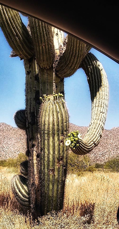 Saguaros are blooming at the White Tanks Regional Park, 12 miles southwest of Surprise. Guests can easily stay in a car to see them, as Ruth Welscott of the Sun City Camera Guild did to capture this image May 1.