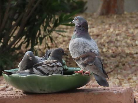 Pigeons taking a bird bath