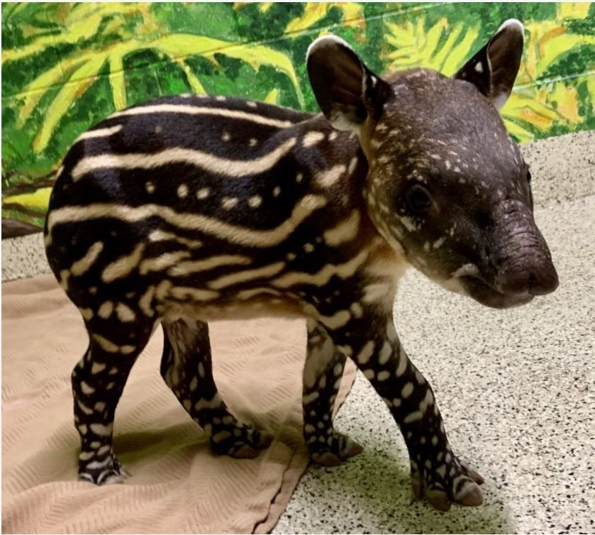 Boulder the South American tapir was born at Wildlife World Zoo, Aquarium & Safari Park in early March.
