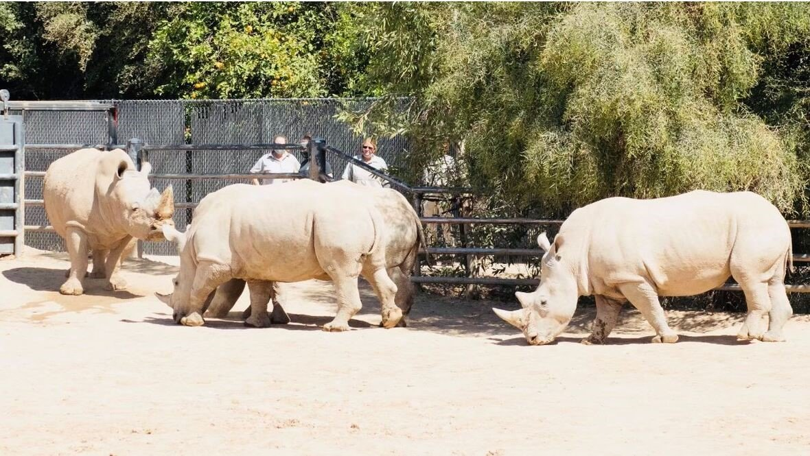 Maoto, a male white rhino sent to Wildlife World from San Diego in late March, is introduced to female white rhinos at the zoo.